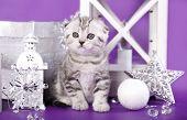 little kitten breed skotishfold on purple background
