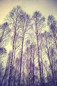 Looking Up Through Trees, Retro Filtered Background.