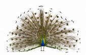 foto of indian peafowl  - Front view of Male Indian Peafowl displaying tail feathers in front of white background - JPG