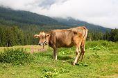 Cow Relaxing