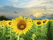 Land Scape Of Agriculture Of Sunflowers Field Against Beautiful Dusky Sky  Background