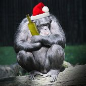 Drunken chimpanzee with hangover after christmas party.