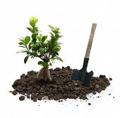 stock photo of ginseng  - Ficus ginseng with soil and shovel in closeup - JPG
