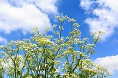 White Weed Flowers With A Blue Cloudy Sky Background