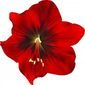 illustration with amaryllis flower isolated on white background