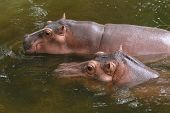 stock photo of hippopotamus  - Two hippopotamuses  - JPG
