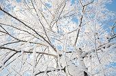 Tree Crown In Snow