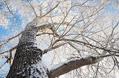 Poplar Tree Crown At Winter