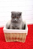 Beautiful British cat in wicker basket on red carpet and brick wall background