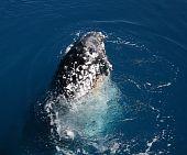 Humpback Whale Hervey Bay Australia