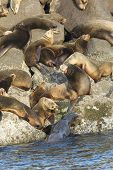 stock photo of harem  - A colony or harem of sea lions on the rocks in Yaquina Bay in Newport Oregon - JPG
