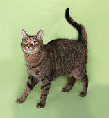 stock photo of tabby-cat  - Tabby nice cat standing on green background - JPG