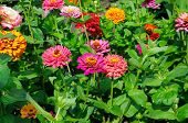 image of zinnias  - A background of a beautiful flowers zinnias - JPG