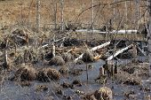 pic of beaver  - Dam picture on a stream - JPG