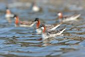 picture of mating animal  - Group of Red - JPG