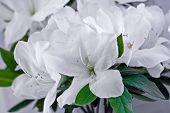 pic of azalea  - white azaleas in full frame background picture - JPG