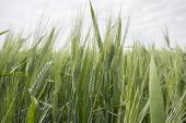 stock photo of spike  - Spikes of green wheat in spring - JPG