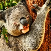 pic of koala  - Found another cheeky koala in the outback of australia