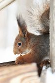 image of nibbling  - Squirrel nibbles Nut sitting in feeding trough - JPG