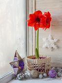 foto of night-blooming  - Blooming red Hippeastrum on the eve of Advent - JPG