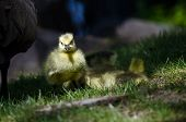 picture of mother goose  - Newborn Gosling Walking in the Green Grass Beside Mom - JPG