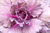 picture of purple rose  - Background of purple decorative ornamental cabbage rose - JPG
