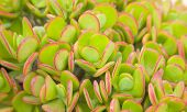 Background Of Red-edged Crassula Leaves