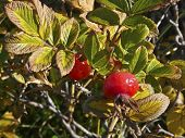 Ripe Rosehips Of Ramanas Rose (rosa Rugosa)