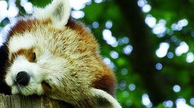 stock photo of panda  - Cute red panda sleeping in a tree  - JPG