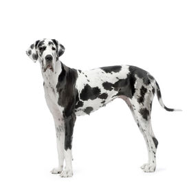 picture of great dane  - great dane harlequin standing in front of white background - JPG