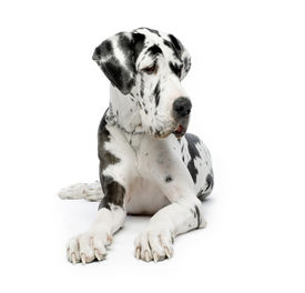pic of great dane  - great dane harlequin sitting in front of white background - JPG