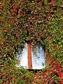 House in an ivy, window