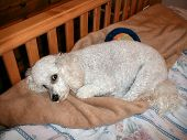 pic of cockapoo  - white mixed breed puppy on bed - JPG