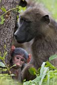 Chacma baboon; papio cynocephalus; South Africa