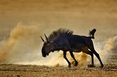 pic of semi-arid  - Blue wildebeest  - JPG