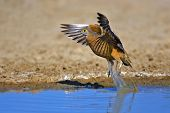 Burchell's Sandgrouse; Pterocles burchelli; South Africa; Kalahari desert
