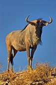 Blue wildebeest; connochaetes taurinus; South Africa; Kalahari desert