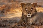 Young Lion resting in morning sun; panthera leo; Kalahari desert; South Africa