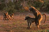 image of animals sex reproduction  - Chacma baboons mating  - JPG