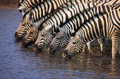 A group of Zebras drinking water in a waterhole : Etosha
