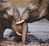 Two Elephant's playing in the water; Loxodonta Africana; Etosha