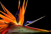 Close-up of colorful strelitzia flower; also called bird of paradise flower