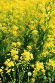 Rapeseed Flower Field