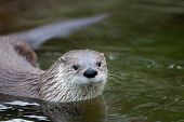European Otter (Lutra lutra), also known as Eurasian otter, Eurasian river otter, common otter and O