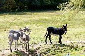 donkeys, France