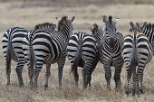 Zebra in National Park
