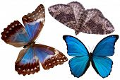 pic of blue butterfly  - butterfly - JPG