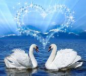 pair of lovers swans
