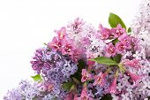 image of may-flower  - flowers lilac and Weigel - JPG