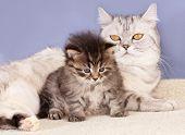 Britische Mutter Katze und Baby Kätzchen